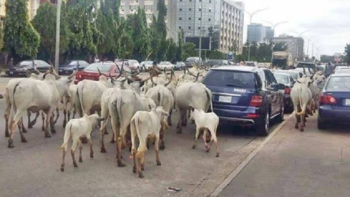 Cows on Abuja road
