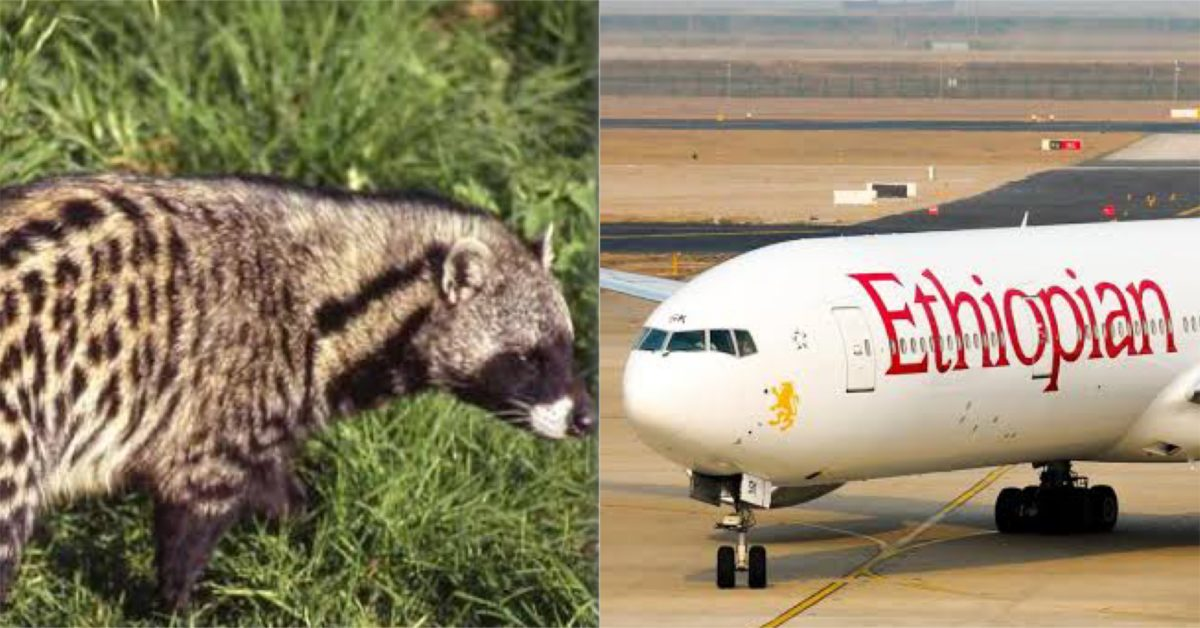 Ethiopian Airlines, African civets