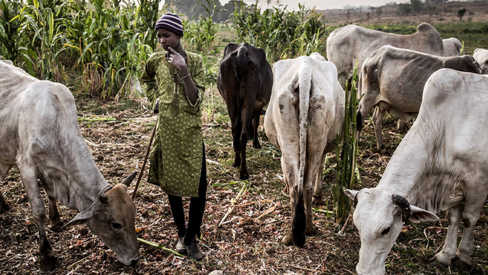 Herder on a farmland (Credit: Nigerian Guardian)
