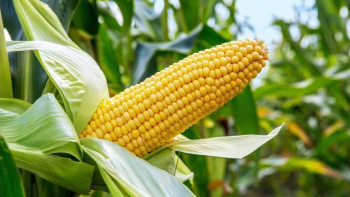 Maize Farm (Credit: agronewsng.com)