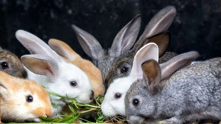 Rabbits used to illustrate the story