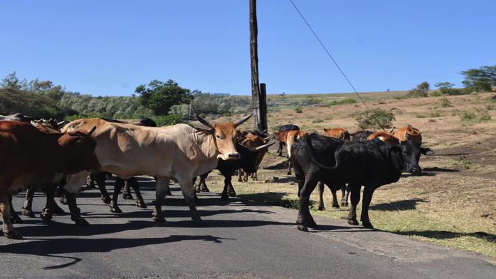 Cattles crossing road
